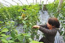 我们种地去吧!种10亩大棚菜投资多少_普通的就可以_要花多少钱