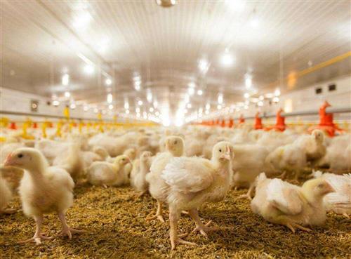 小鸡苗怎么养 小鸡苗养殖技术与注意事项