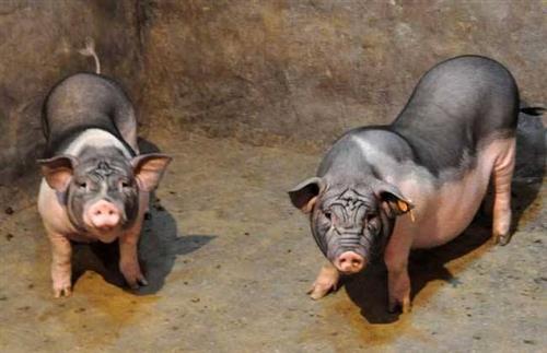 养猪场兽药使用需要注意的五个方面