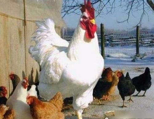 肉鸡各阶段适宜养殖的条件有什么?